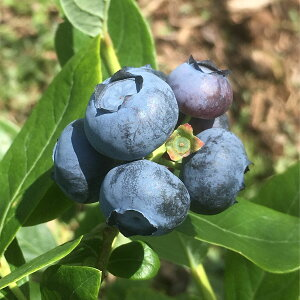 【ふるさと納税】ブルーベリー(有機JAS認定)約1kg【果物・フルーツ・果物類・ブルーベリー】