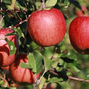 【ふるさと納税】西の峰果樹園の蜜入りリンゴ(サンふじ)約5kg 【果物類/林檎・りんご・柑橘類・リンゴ・アップル・くだもの・フルーツ】 お届け:2019年12月中旬〜12月下旬