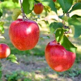 【ふるさと納税】甘い!希少!あいかの香り 信州のりんご約3キロ【1041410】