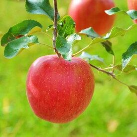 【ふるさと納税】信州のりんご シナノスイート 約5キロ!【1041420】
