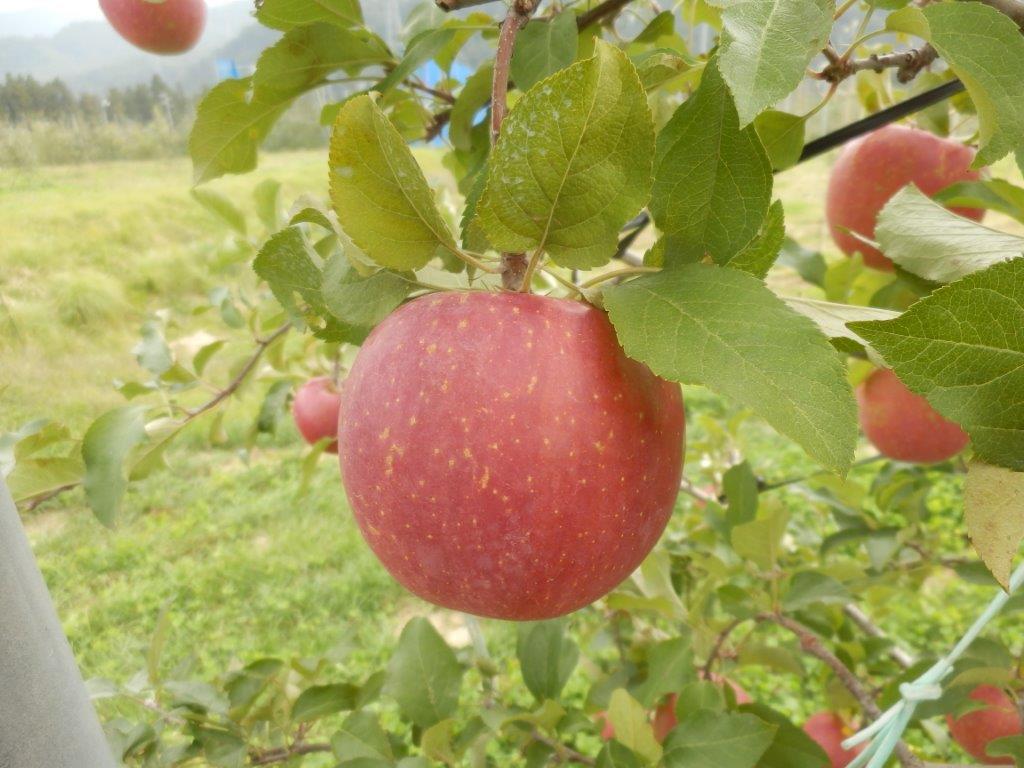 【ふるさと納税】ふじリンゴ(5kg)(予約制)