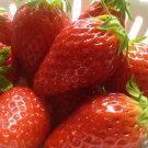 【ふるさと納税】甘くて美味しい高品質の「アルプスいちご」
