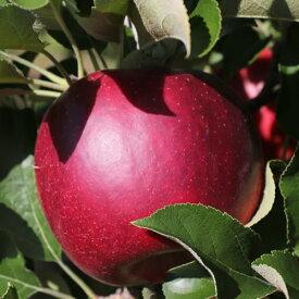 【ふるさと納税】長野県産 真紅のりんご(秋映) 約3キロ 秀品※2021年9月下旬〜10月中旬頃順次発送予定※着日指定はできません。沖縄・離島への発送不可。