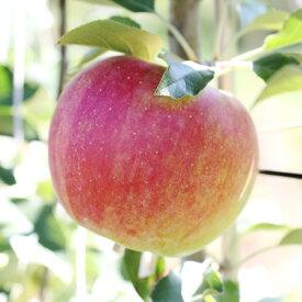 【ふるさと納税】長野県発!甘〜いりんご(シナノスイート) 約5kg 秀品※2020年9月下旬〜10月下旬頃に順次発送予定※着日指定はできません。沖縄・離島への発送不可。