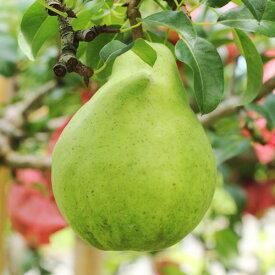 【ふるさと納税】豊かな芳香とまろやかな食感 長野県産 洋なし(ル・レクチェ) 約3kg※2019年11月順次発送予定※着日指定はできません。沖縄・離島への発送不可。