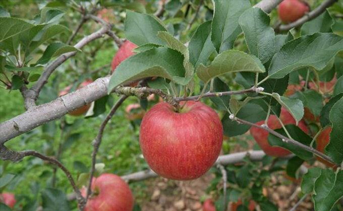 【ふるさと納税】【2019年度産】安曇野のシナノスイート 約10kg 【果物類・林檎・りんご・リンゴ】 お届け:2019年10月上旬〜10月下旬