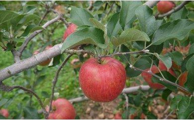 【ふるさと納税】【2019年度産】安曇野のシナノスイート 並品 約10kg 【果物類・林檎・りんご・リンゴ】 お届け:2019年10月上旬〜10月下旬