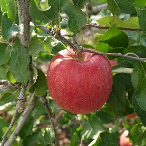 【ふるさと納税】【2019年度産】安曇野のサンふじ 約5kg 【果物類・林檎・りんご・リンゴ】 お届け:2019年12月中旬〜2020年1月下旬