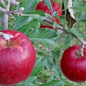 【ふるさと納税】2020年 外川果樹園【家庭用】紅玉 約10kg 【果物類・林檎・りんご・リンゴ】 お届け:2020年9月下旬〜10月下旬