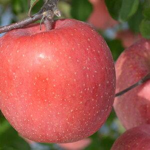 【ふるさと納税】JAながの りんご サンふじ 約10kg 【果物類・林檎・りんご・リンゴ】 お届け:2019年11月中旬〜12月中旬