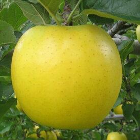 【ふるさと納税】JAながの りんご シナノゴールド 約5kg 【果物類・林檎・りんご・リンゴ】 お届け:2020年10月下旬〜11月中旬