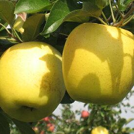 【ふるさと納税】JAながの りんご シナノゴールド 約10kg 【果物類・林檎・りんご・リンゴ】 お届け:2020年10月下旬〜11月中旬