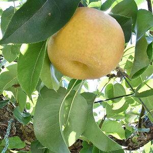 【ふるさと納税】M07S06「山之上果実農業協同組合 梨 幸水」