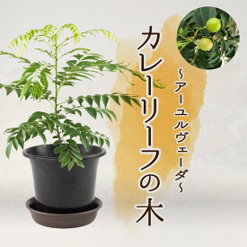 【ふるさと納税】アーユルヴェーダ カレーリーフの木
