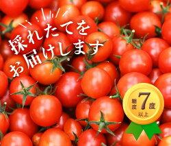 ミニトマト採れたてをお届け