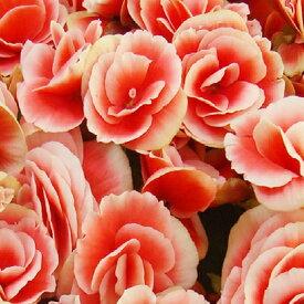 【ふるさと納税】リーガースベゴニア鉢植え 「バラ咲ボリアス」5号 【植物・雑貨・日用品・花・インテリア・ガーデニング】