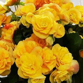 【ふるさと納税】リーガースベゴニア鉢植え 「バラ咲イエローストーン」5号 【植物・雑貨・日用品・花・インテリア・ガーデニング】