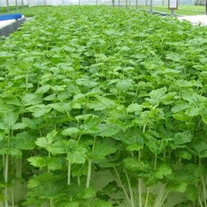 【ふるさと納税】ホワイトミニセルリーセット(30袋入り) 【野菜・詰め合わせ】