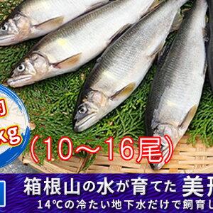 【ふるさと納税】箱根の水が育てた美形あゆ【冷凍 約1kg】 【魚貝類・鮎・アユ】
