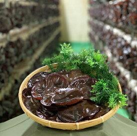 【ふるさと納税】生きくらげ 約1kg 【野菜・きのこ・きくらげ・生きくらげ】