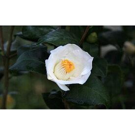【ふるさと納税】☆究極の茶花椿「月照」6号鉢接木開花見込み苗