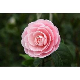 【ふるさと納税】☆椿名花「淡乙女」5号鉢開花見込み苗