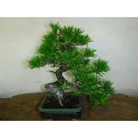 【ふるさと納税】緑の芸術盆栽(小型サイズ)