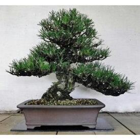 【ふるさと納税】緑の芸術盆栽(中型サイズ)