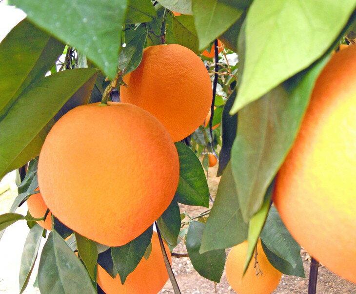 【ふるさと納税】美浜町産 温室ネーブルオレンジ大箱セット