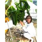 【ふるさと納税】超希少!美浜町産バナナ(モッチリ系の品種)たっぷり2kg入り!
