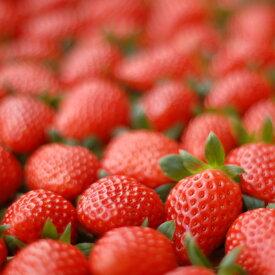 【ふるさと納税】 のらくら農園 新鮮いちごセット