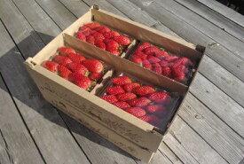 【ふるさと納税】 のらくら農園 のらくら農園の新鮮いちご・たっぷりセット