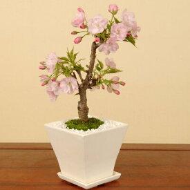 【ふるさと納税】養庄園 ミニ盆栽:桜盆栽