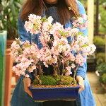 【ふるさと納税】養庄園桜5本寄せ盆栽