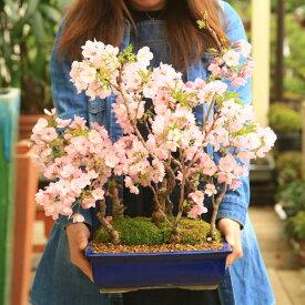 【ふるさと納税】養庄園 桜5本寄せ盆栽