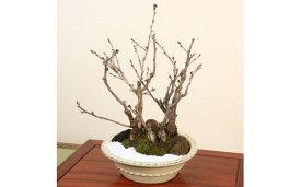 【ふるさと納税】養庄園 桜3種5本寄せ盆栽