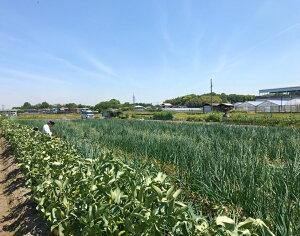 広々とした玉ねぎ畑
