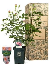 【ふるさと納税】D-151イングリッシュローズ デビッド・オースチン バラ鉢苗(バラ専用肥料付)