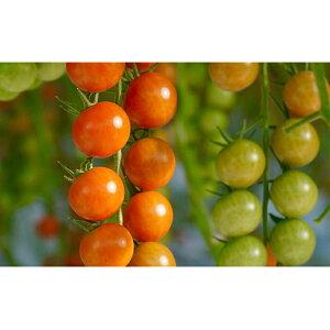 【ふるさと納税】トマト3種食べ比べ(カリーナ・スプラッシュ・ごちそうトマト)計21パック 【野菜・トマト・ミニトマト】 お届け:2019年12月1日〜2020年5月31日