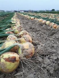 【ふるさと納税】淡路島の農家の嫁から直送「完熟新玉ねぎ 早生 5キログラム」