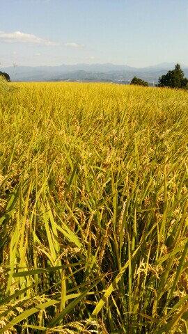 【ふるさと納税】金剛山麓米 清流で育った新米ヒノヒカリ(10kg)さかがみ農園※北海道・沖縄・離島へのお届け不可