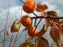 【ふるさと納税】ご自宅用に たっぷり富有柿わけあり品(約10kg・約40個入り)※着日時はご指定いただけません11月中旬から12月上旬順…