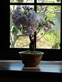 【ふるさと納税】【2021年4月頃開花】桜盆栽