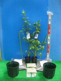 【ふるさと納税】サザンハイブッシュ系接ぎ木ブルーベリー苗2本+簡単鉢植栽培キット×2