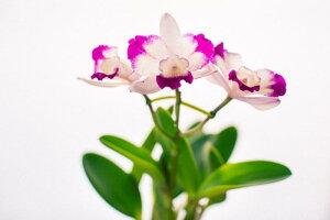 【ふるさと納税】ミニカトレア&多肉植物バラエティセット