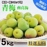 【ふるさと納税】青梅(南高梅)特選大粒5kg和歌山県産