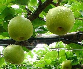 【ふるさと納税】007 二十世紀梨(さんこうえん)鳥取 フルーツ 果物 ジューシー 梨 なし ナシ 送料無料 期間限定