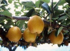 【ふるさと納税】405 王秋梨(鳥取いなば農業協同組合) フルーツ 果物 梨 なし ナシ 送料無料