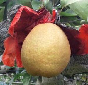 【ふるさと納税】038 王秋梨(安田農園)鳥取 フルーツ 果物 ジューシー 梨 なし ナシ 送料無料 期間限定