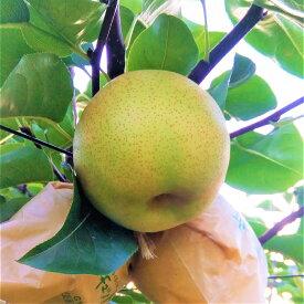 【ふるさと納税】二十世紀梨(秀品(2.5キロ)たさき農園)鳥取 フルーツ 果物 ジューシー 梨 なし ナシ 送料無料